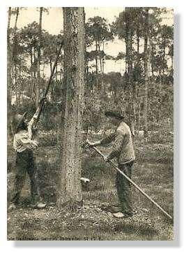 Le gemmage d'hier - Une image traditionnelle du gemmage et des gemmeurs. © Claude Courau - Collection privée - Tous droits réservés