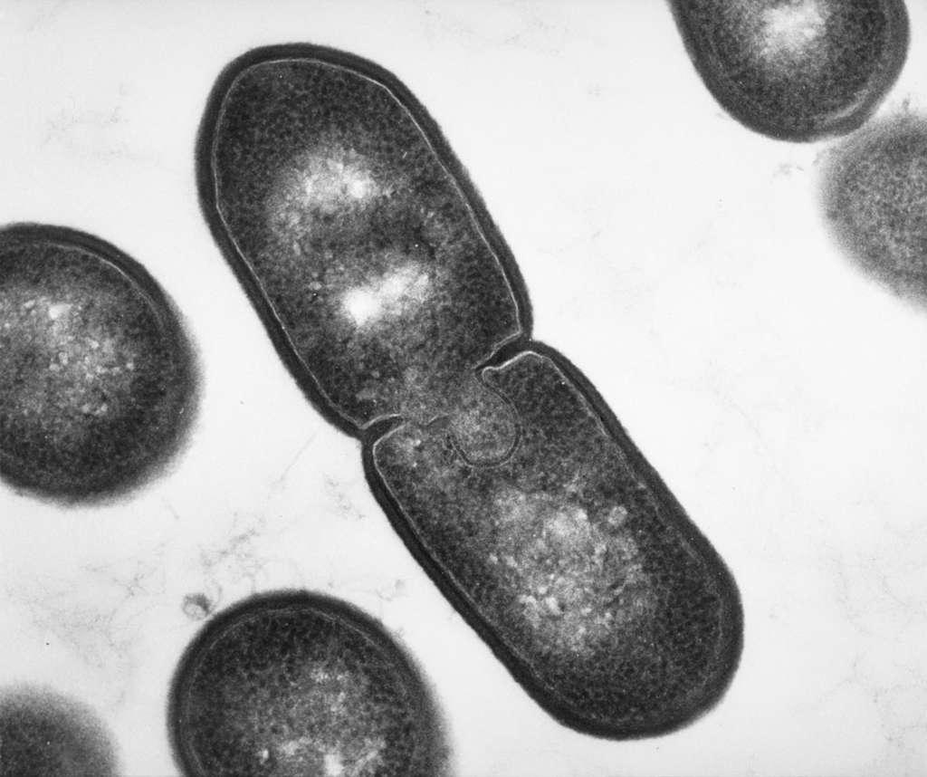 Listeria innocua en cours de division (x 50.000). Pour se multiplier, les bactéries s'allongent puis se divisent. Tout simplement. © Bénédicte Cesselin/Inra