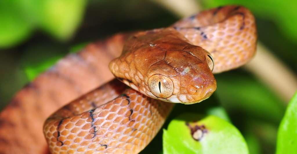Serpent Boiga irregularis. © Pavel Kirillov, CC by-sa 2.0