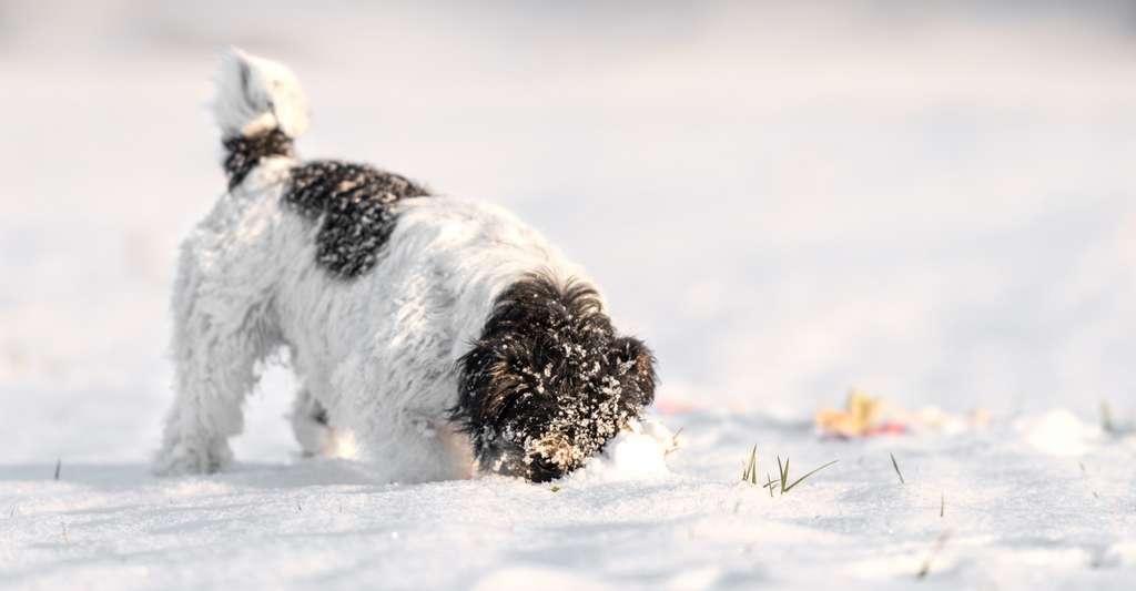 Veillez toujours à ce que votre chien ne mange pas trop de neige. C'est très rigolo, mais cela peut lui provoquer des troubles digestifs. © K. Thalhofer, Fotolia