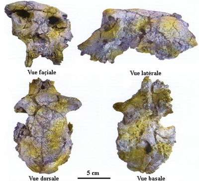 Crâne de Sahelanthropus tchadensis