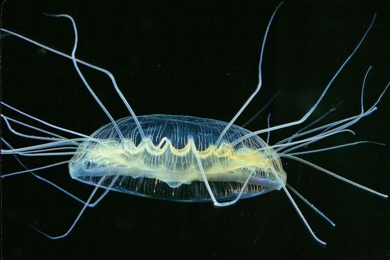 La méduse Pegantha sp.