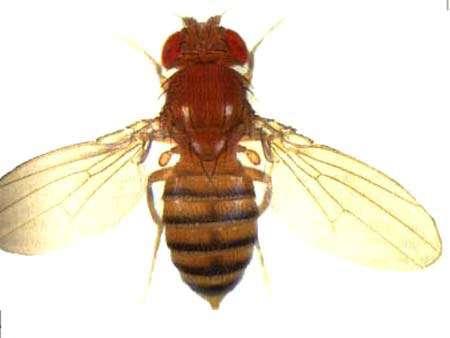 Drosophile normale Reproduction et utilisation interdites
