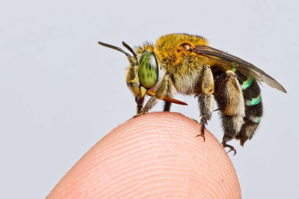 L'abeille Amegilla andrewsi, l'une des 20.000 espèces dans le monde. © Zestin Soh, Cell Press