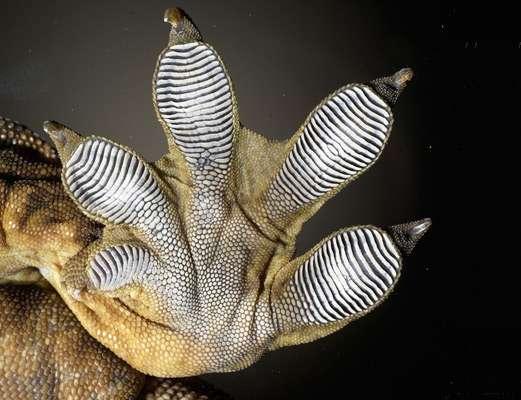 Les fameuses semelles adhésives du gecko sont formées de lamelles rassemblant des centaines de milliers de poils microscopiques, les setae. © Ali Dhinojwala/University of Akron