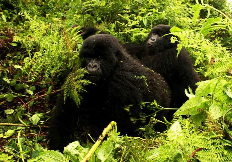 Gorilles des montagnes dans leur habitat. © TKnoxB, CC by 2.0