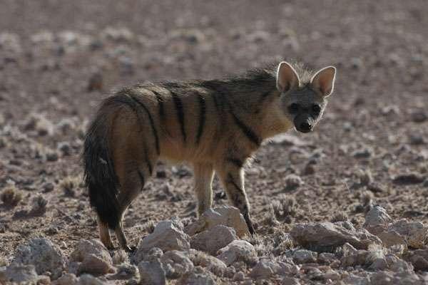 Protèle en Namibie. © Dkaeuferle, GNU FDL Version 1.2