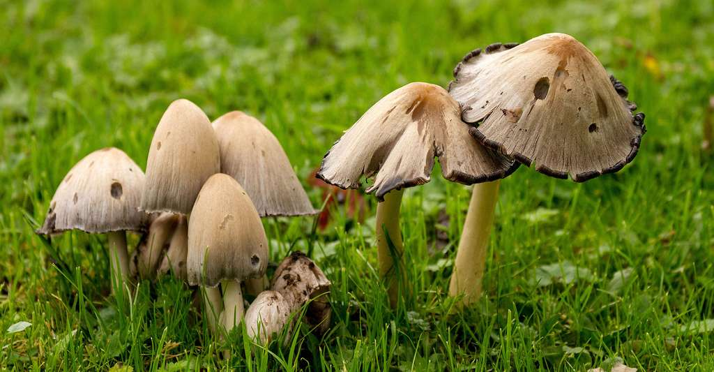 Champignons et animaux sont essentiels pour la forêt. Ici, Coprinopsis atramentaria. © Michael Palmer, CC by-sa 4.0