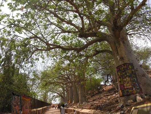 Allée des baobabs sur l'île de Gorée (Sénégal). Ils auraient été plantés sur l'île au milieu du 18ème siècle. © S . Garnaud Reproduction et utilisation interdites