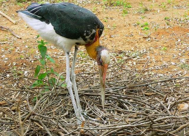 Marabout argala sur son nid. © Pandiyan, Flickr CC by-NC 2.0