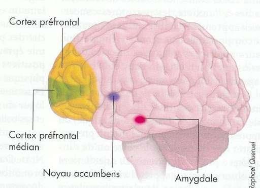 Le cortex préfrontal médian est une zone du cortex préfrontal aux rôles complexes. © Raphael Queruel