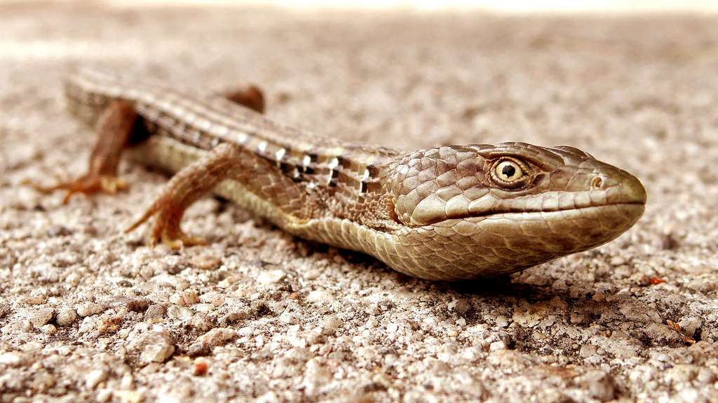 Un lézard aux allures d'alligator