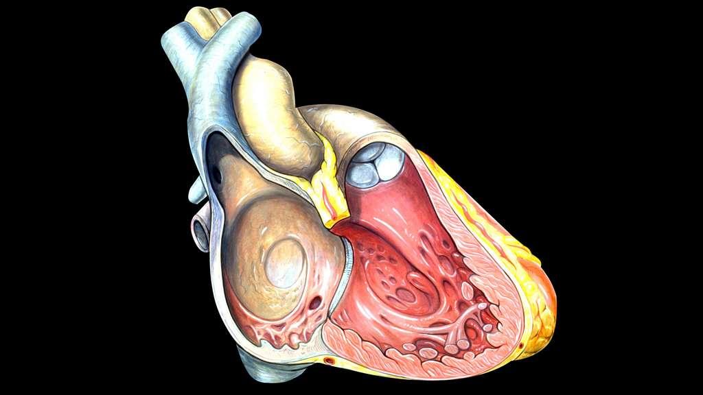 Anatomie du cœur droit