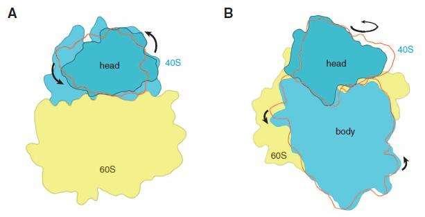 Les deux sous-unités du ribosome eucaryote subissent une rotation de l'une par rapport à l'autre lors de la synthèse protéique. © M. Yusupov, Science