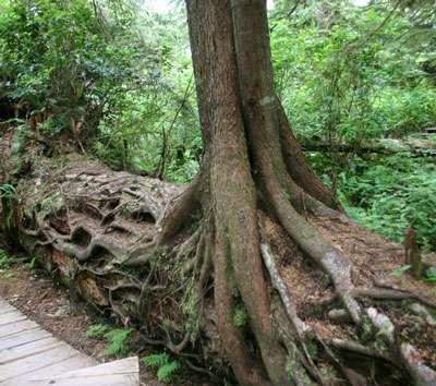 Les mycorhizes favorisent le développement des arbres. © Wing-Chi Poon, Creative Commons, CC by-sa 2.5