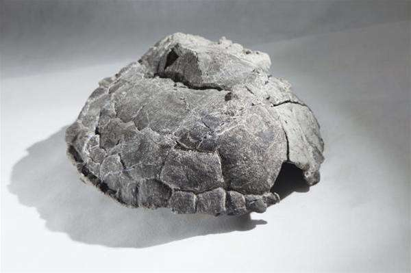 La carapace d'une des tortues découvertes par Tomasz Sulej. © National Geographic Polska