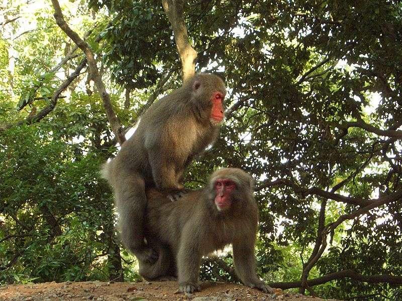 Accouplement de macaques japonais. © Noneotuho, GNU FDL Version 1.2