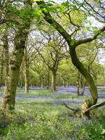 La forêt de Wytham, à Oxford, Royaume-Uni © Teddy Wilkin