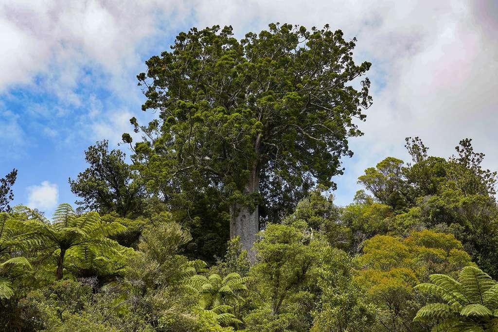 Péninsule de Coromandel : ce kauri présente une étonnante section carrée. © Antoine, tous droits réservés