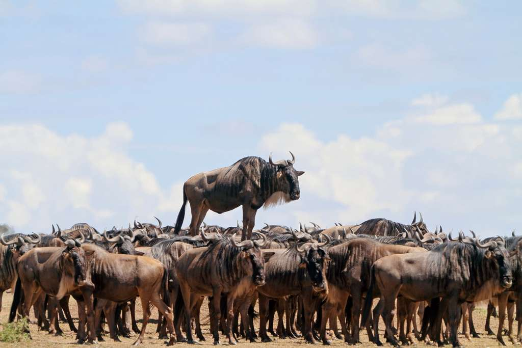 Abraracourcix chez les gnous. © Jean-Jacques Alcalay, Comedy Wildlife Photography Awards