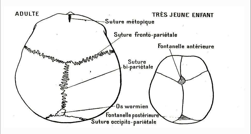 Cette comparaison de la fusion des sutures crâniennes entre le très jeune enfant et l'adulte est due à Georges Bresse dans son ouvrage Morphologie et physiologie animales (1965). © Larousse