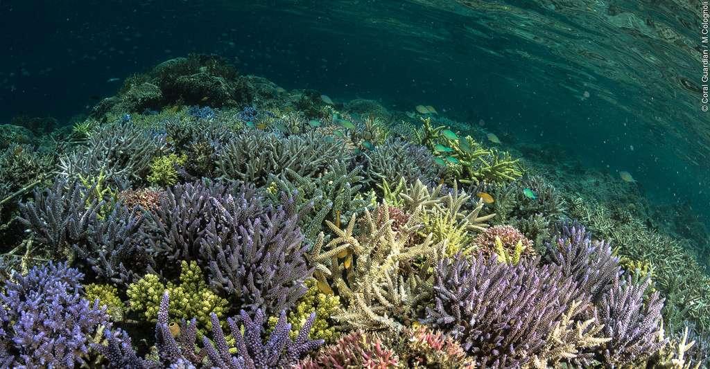 Les coraux forment un habitat unique. Ici, on peut voir plusieurs espèces du genre Acropora. © Martin Colognoli, Coral Guardian, tous droits réservés