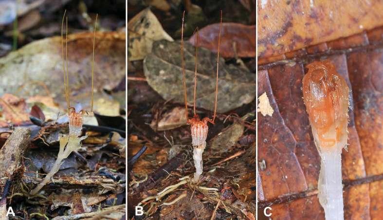 Trois spécimens ont été étudié : deux étaient en fleur (en A et B), à gauche, le dernier était un bourgeon (image C). © Michal Sochor et al., Phytotaxa, 2018