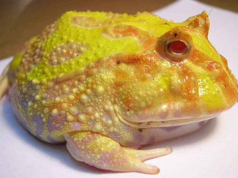 Pourquoi ce crapaud albinos est-il jaune ? La réponse en cliquant sur l'image ! © Grosscha, Wikipedia CC by sa 3.0
