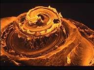Cochlée humaine disséquée. Elle comporte deux tours et demi de spire. © Inserm 95