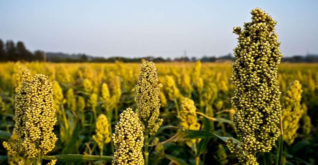 Tout savoir sur le millet. © Vincent Chien, Flickr, CC by-sa 3.0