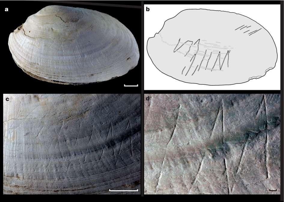 En a et b, la vue générale de la coquille du mollusque d'eau douce et la reproduction du tracé. En c et d, les détails du dessin. Les barres d'échelle représentent 1 cm dans les figures a et c, et 1 mm en d. © Josephine C. A. Joordens et al., Nature