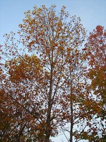 Liquidambar styraciflua. © Trees Of The World.net, Flickr nc-sa 2.0