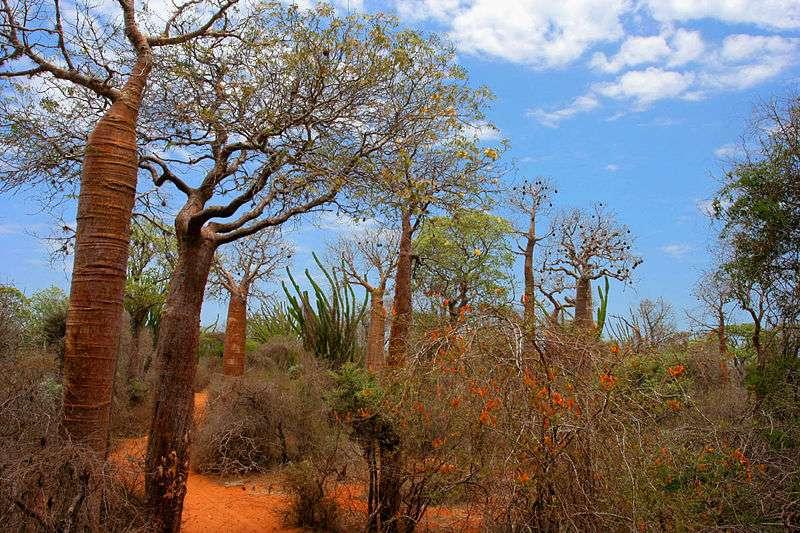 Madagascar : Spiny forest