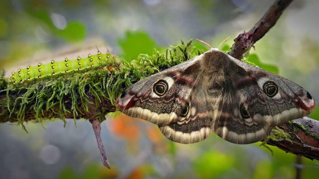 La chenille verte du Saturnia pavonia