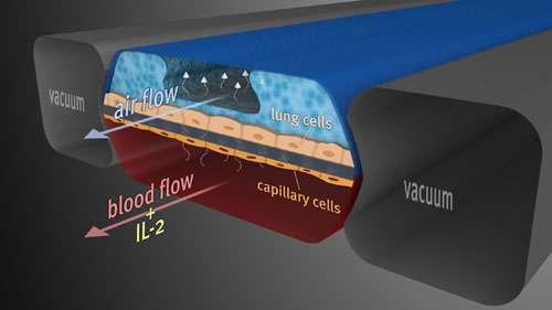 Ce schéma représente la structure de la micropuce. Le compartiment du haut, mimant le sac pulmonaire connaît un flux d'air (air flow). Il est délimité par des cellules pulmonaires (lung cells). En dessous, le compartiment sanguin (blood flow) et ses cellules de capillaires (capillary cells). À droite et à gauche, des poches dans lesquelles les scientifiques peuvent faire le vide (vacuum) de manière à étirer en largeur la structure. À ce stade, on peut voir que le compartiment pulmonaire est bien rempli d'eau, l'air n'ayant plus beaucoup de place pour se faufiler : c'est un œdème pulmonaire. © Wyss Institute, Harvard University