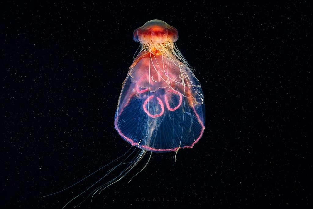 Une méduse qui en mange une autre