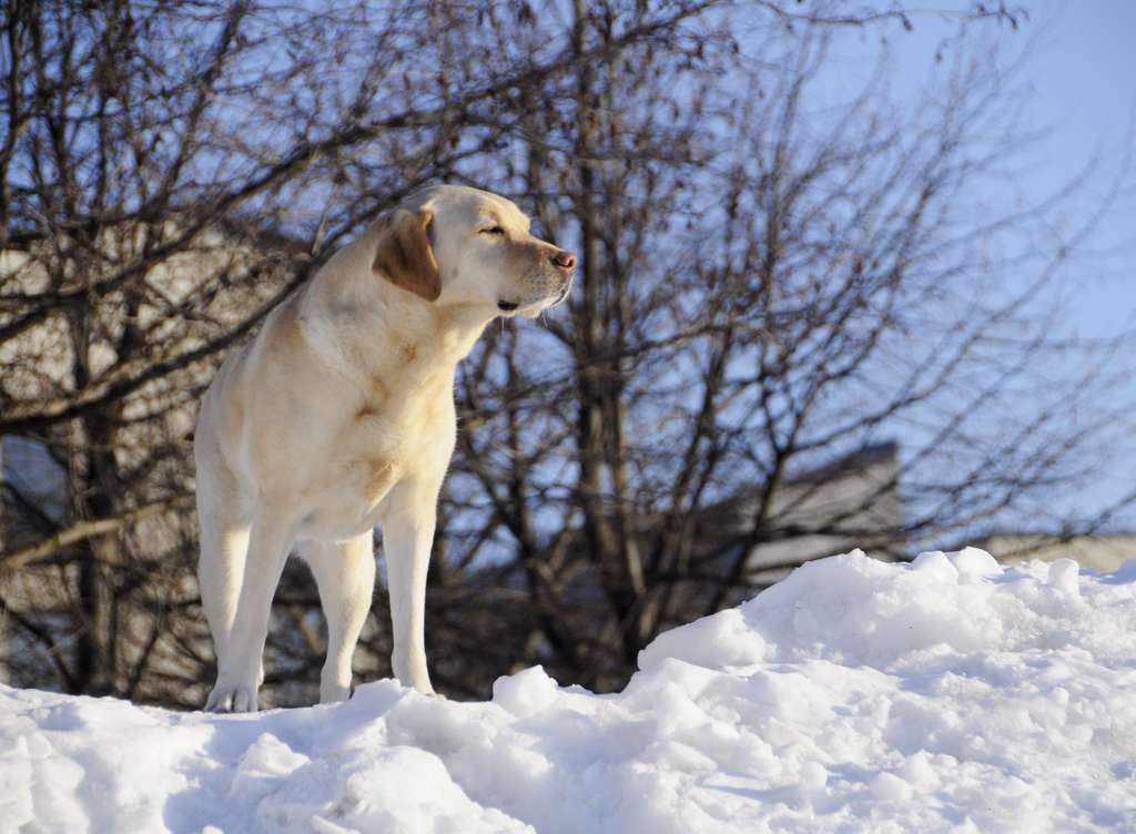 Labrador retriever. © smerikal, Flickr