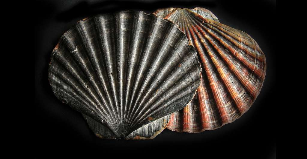 Pecten maximus. © Manfred Heyde, Wikimedia commons, CC by-sa 3.0