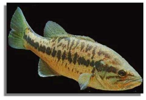 Le poisson Black Bass