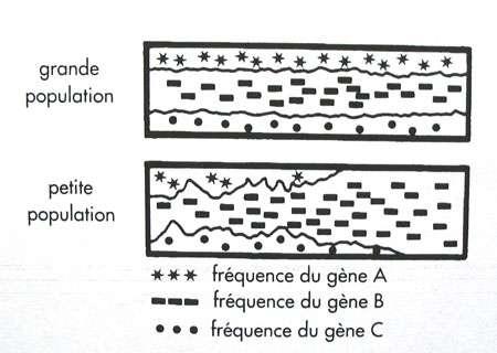 Spéciation par dérive génétique. © DR