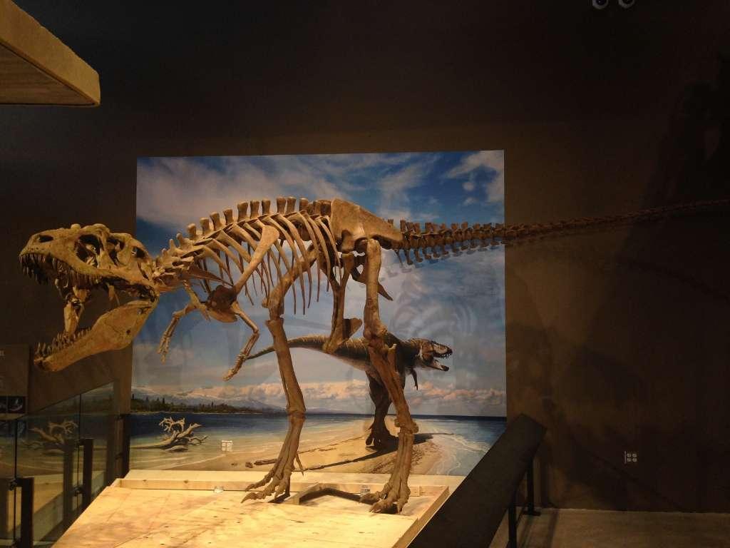 Reconstitution du squelette complet d'un tyrannosauridé qui appartient à la même lignée que le Tyrannosaurus rex : Lythronax argestes. Il a fallu dix mois pour nettoyer tous les os trouvés, une fois leur excavation terminée. © Mark Loewen