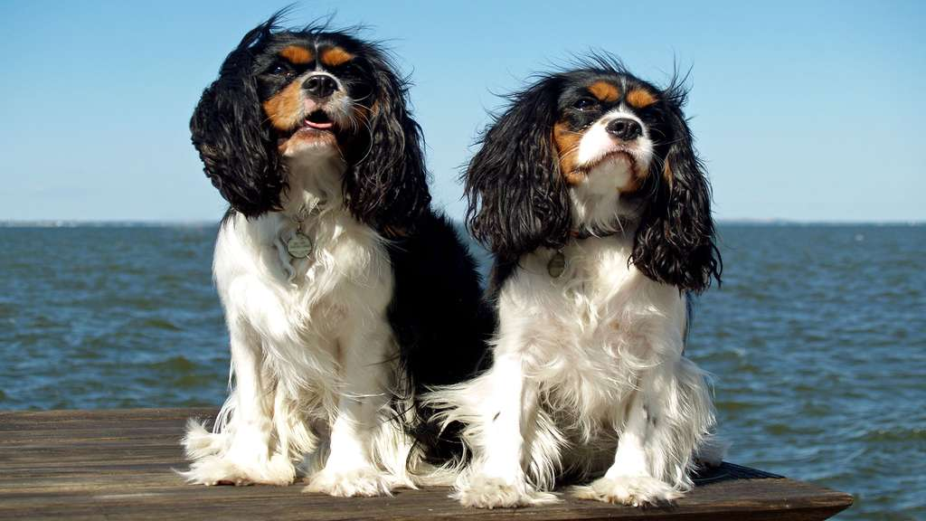 L'épagneul King Charles, un chien royal