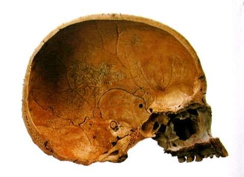 Crâne de Homo sapiens (coupe). © DR