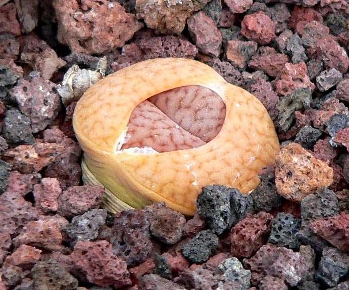 Lithops pseudotruncatella dendritica
