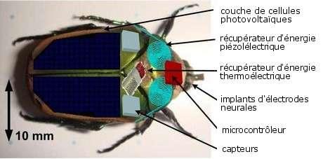 Le cyborg beetle avec toutes ses fonctionnalités : les cellules photovoltaïques, les récupérateurs d'énergie et le système de téléguidage. © Université du Michigan