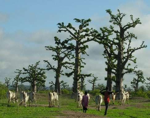 Éleveurs et troupeau de zébus dans la forêt de baobab de Nguékokh (Sénégal). © S. Garnaud - Reproduction et utilisation interdites