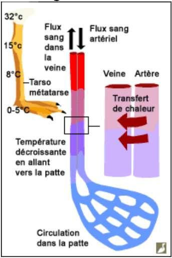 Le transfert de chaleur de l'artère à la veine dans le corps du manchot a inspiré l'Homme, qui s'est servi de ce système pour construire des radiateurs. © www.ornithomedia.com