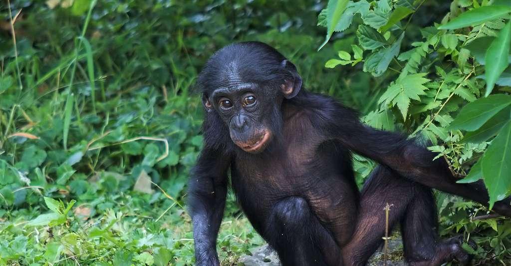 Jeune bonobo. © Emmapatsie, Flickr, CC by-nc 2.0