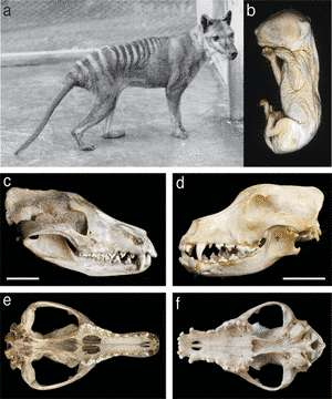 En a, jeune mâle photographié au zoo de Hobart en 1928. En b, un embryon de thylacine, conservé dans l'alcool au Museum Victoria, qui a servi à l'étude. A gauche, en c et en e, crâne de thylacine. Sa forme ressemble de façon surprenante à celui du chien domestique (Canis canis), montré en d et en f. © Andrew J. Pask, Richard R. Behringer, Marilyn B. Renfree/PLoS One
