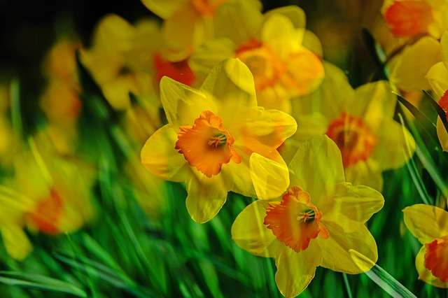 Narcisses. © NickyPe, Pixabay, DP